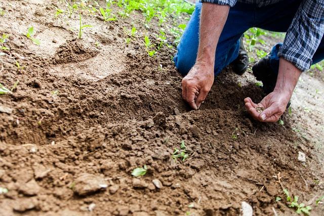 výsadba semen