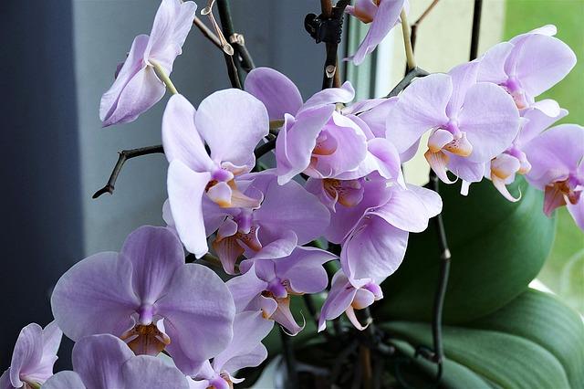 rozkvetlá orchide